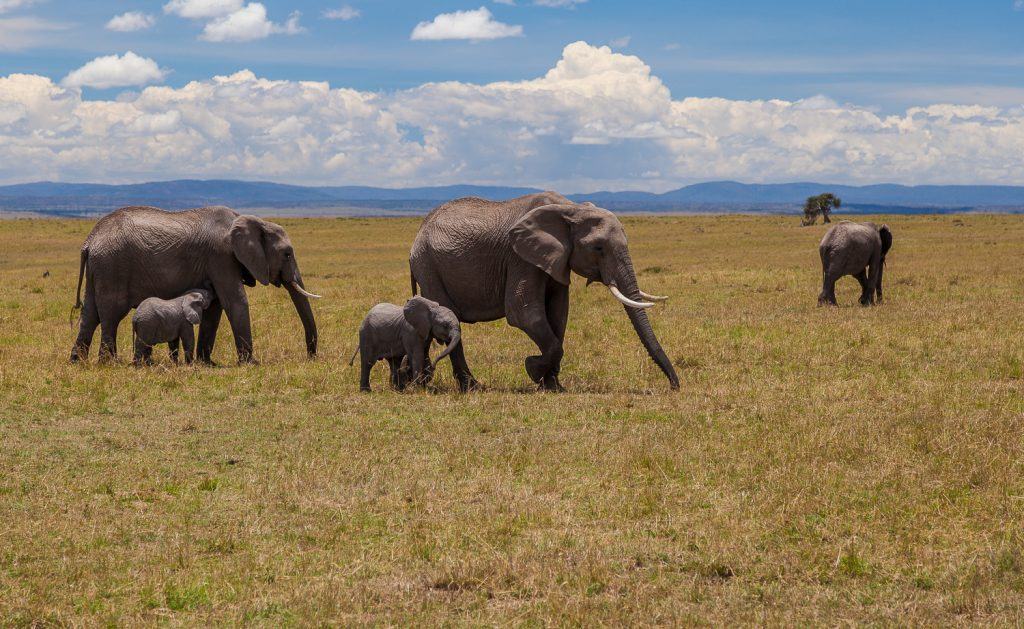 One species of African elephant, the bush elephant, is the largest living terrestrial animal. Their large ears enable heat loss. Males stand 3.2–4.0 m tall at the shoulder and weigh 4–6000 kg.