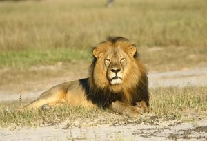 picture of African Lion before he was killed by Walter Palmer