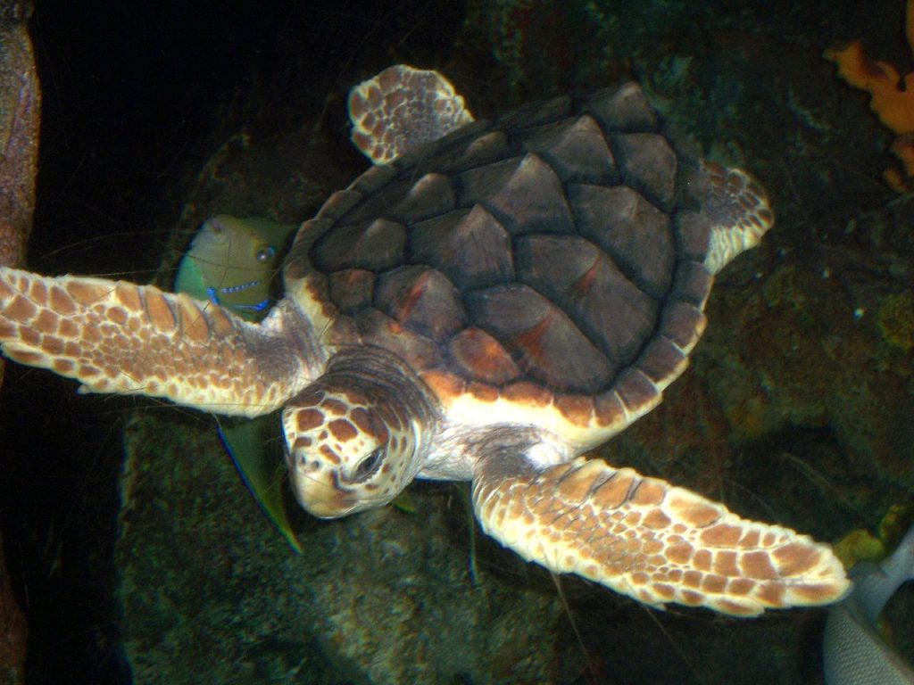 photograph of Loggerhead Turtle