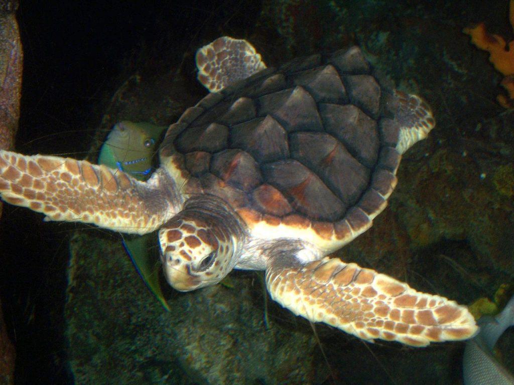photograph of Loggerhead Turtle