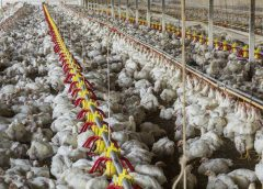 photo of large, industrial poultry farm and the inhumane lack of room for the animals to move around even to the slightest degree