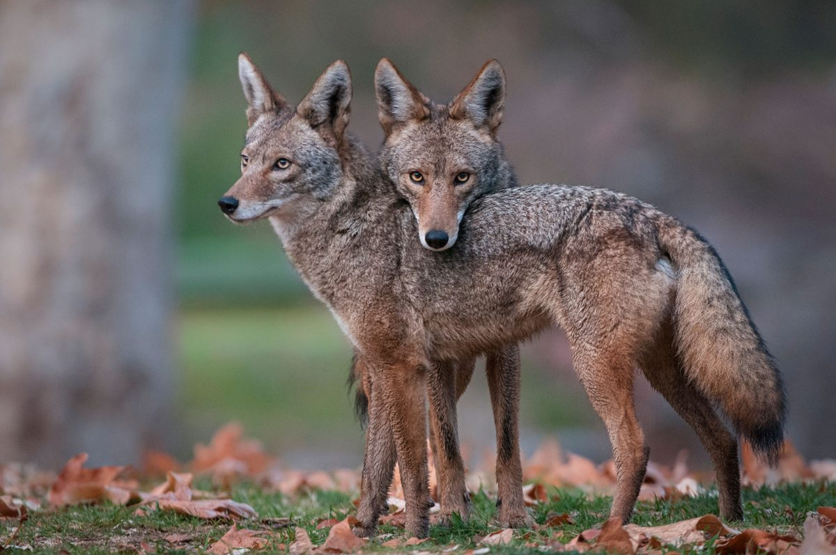 two coyotes