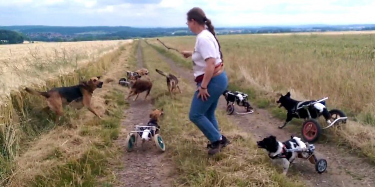 a group of dogs with wheeled mobility devices take a walk with a human companion