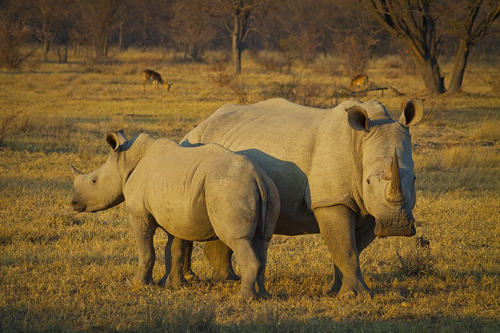 The white rhinoceros or square-lipped rhinoceros (Ceratotherium simum) is one of the five species of rhinoceros that still exist. The white rhino recovered from near extinction as a species, thanks to intensive conservation efforts.