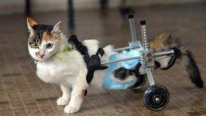 calico cat using wheeled mobility device for missing hind limbs