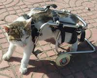 cat walking with adaptive wheeled mobility device