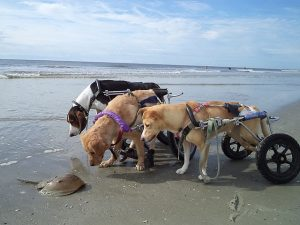 Dogs visiting the sea shore in pet wheelchairs