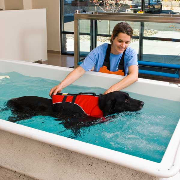 Black Lab being provided therapy in a Hydrotherapy pool with human therapy assistant