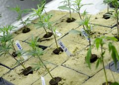 budding Marijuana plants in seed starter box