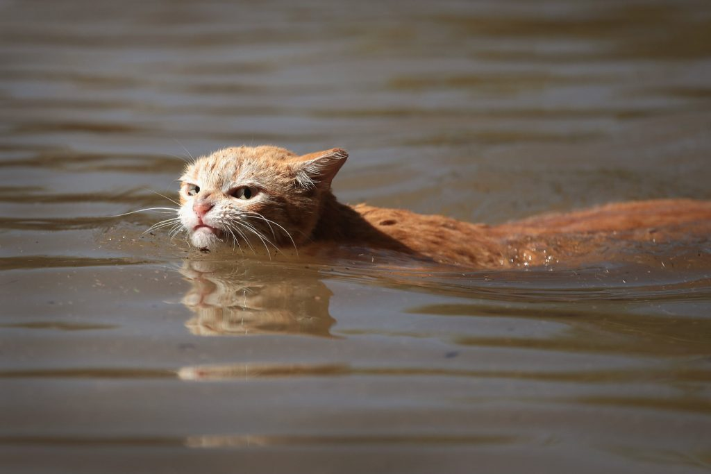 photo of cat struggling to swim to dry ground during flooding event Harvey