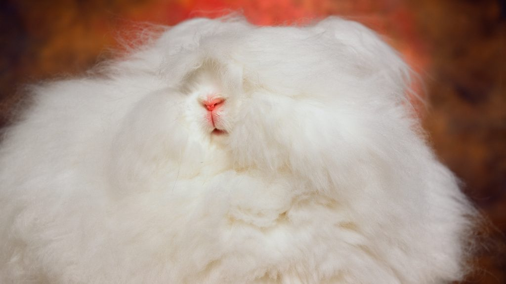 photo of an Angora rabbit