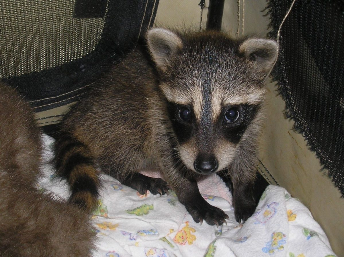 raccoon rescued from Texas flooding in tropical storm Harvey