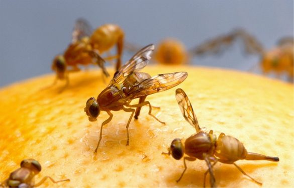 close up photo of the common fruit fly sitting atop an orange