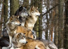 Wolves, The Endangered Species Act and H.R 424