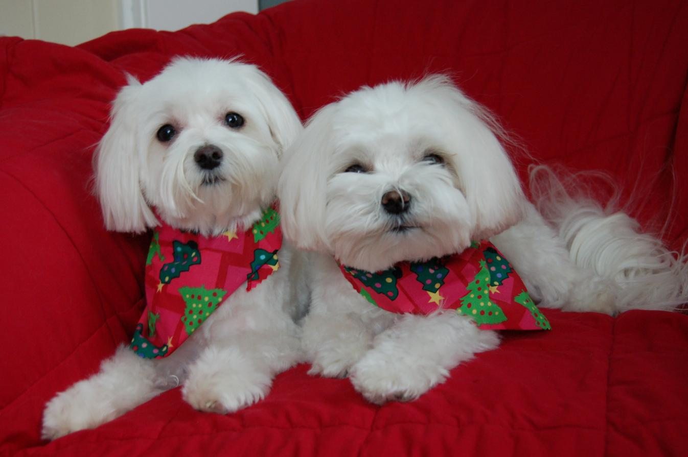 photo image of two small white dogs posing for Christmas picture with Christmas tree bandanas on