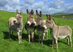 Animal Farming: Donkeys For Chinese Medicine & Meat; We Must Be Their Voice