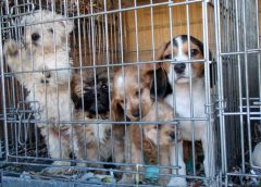 The Horrors of Puppy Mills; Please Adopt and Do Not Shop!
