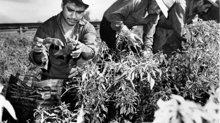 Mexicans working in American farm fields.