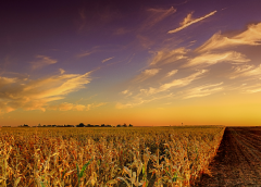 open license stock image of a corn field at dusk, provided by https://www.goodfreephotos.com