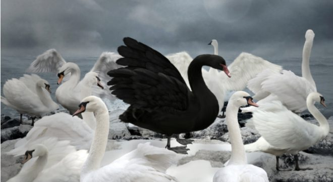 photo of a Black Swan in the midst of a group of White Swans